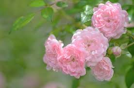 Resultado de imagem para imagens de flores cor de rosa