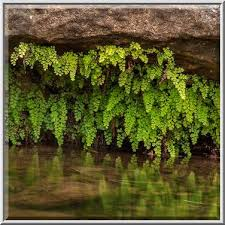 Photo 1131-12: Overhanging Southern Maidenhair Fern (Adiantum...Pool  Preserve, west from Austin. Texas