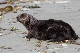 sea otter coat