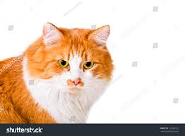 fluffy white and orange cats. Exellent Cats Portrait Of Beautiful Fluffy Orange And White Cat Inside Fluffy White And Orange Cats E