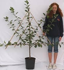 Inspiration Gallery  Fruitfull CommunitiesGrowing Cordon Fruit Trees