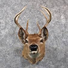 vine whitetail deer mount 11658