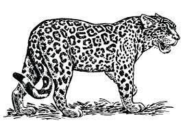 Jaguar Coloring Sheet Jaguar Coloring Pages Jaguar Coloring Page
