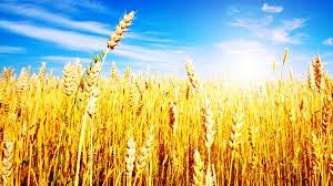 В России с по ноября наибольшим образом повысилась пшеница  В России с 13 по 20 ноября наибольшим образом повысилась пшеница 3 класса и рожь
