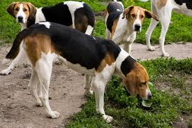 top 10 hunting dog breeds american foxhound