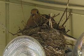 Mourning Dove Age Chart Mourning Doves Habits Mating Eating Nesting Lifespan
