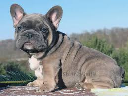 french bulldog blue tri blue tan color once in a blue moon french bulldog puppies english bulldogs and french bulldogs breeder phoenix tucson arizona