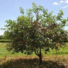 Image result for cherry tree