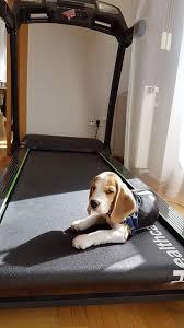 Resultado de imagen para 犬 Beagle Fully