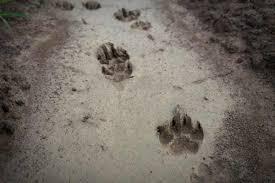 Animal Track Identification Guide Wildliferemoval Com