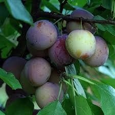 Fertilizer Requirements For Plums U2013 How To Fertilize A Plum TreeDo You Need 2 Plum Trees To Produce Fruit