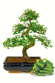 a large variety of species can easily be converted or used as bonsai gifts as special n of love