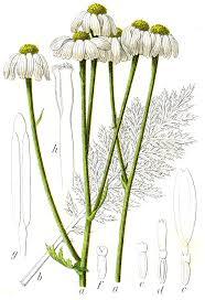 Tanacetum corymbosum - Wikispecies