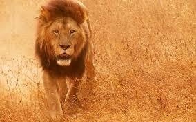 lion wallpaper hd widescreen. Plain Widescreen African Lion 1920x1200 Px Emmaline Reynosa Intended Lion Wallpaper Hd Widescreen E