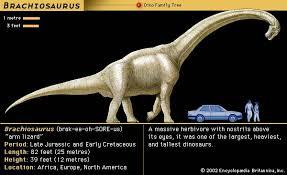 brachiosaurus size sauropod dinosaur infraorder britannica com