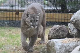 Image result for grey cougar