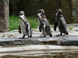 Image result for pinguins