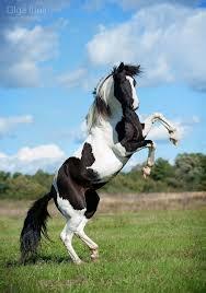 wild paint horses rearing. Brilliant Horses Rearing Pinto Horse For Wild Paint Horses Rearing E