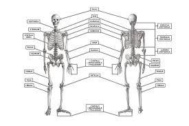 Crossfit The Skeleton Anterior And Posterior Views