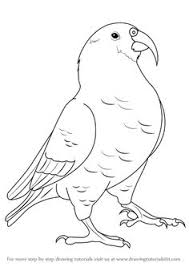 learn how to draw a kea birds step by step drawing tutorials