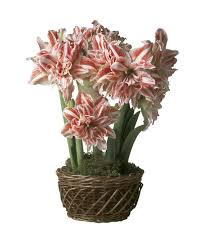 first love amaryllis flower bulb gift garden