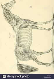 The Anatomy And Physiology Of The Horse With Anatomical And