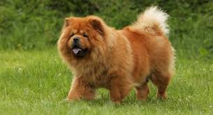 most beautiful dog breeds in the world. Plain The ChowChowTopMostPopularBeautifulDogBreeds Throughout Most Beautiful Dog Breeds In The World U