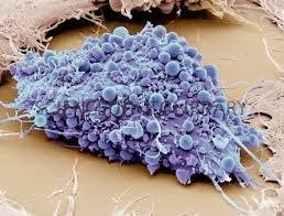 Image result for mesenchymal stem cells microscope