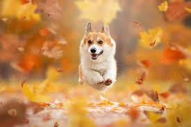 Picture Welsh Corgi dog Foliage Running ...