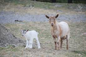 Dairy Goat Breeds The Nigerian Dwarf Goat Is A Miniature Dairy Goat Breed Of West