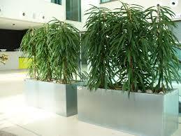 office plants for sale. Fine Plants Office Plants London  Ficus Longifolia In Trough Throughout For Sale M