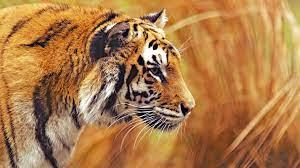 8K Tiger UHD Wallpapers - Top Free 8K ...