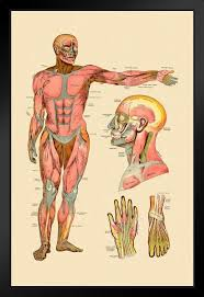 Diagram Of Front Muscles Of Human Body Vintage Anatomy Chart Framed Poster 14x20 Inch