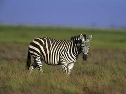 Small Picture Zebra Wallpaper Animals Town