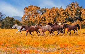 horses running in the wind. Modren Running Horse Photograph  Horses Running Free By Susan Candelario To In The Wind L