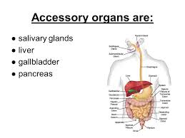 Accessory Organs Of The Digestive System Adorable NOTES The Digestive System UNIT 32 Part 32 Ppt Download