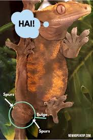 Stream genjer genjer by indoprogress from desktop or your mobile device. 5 Extremely Easy Ways To Sex Your Crested Gecko New Hope Herp