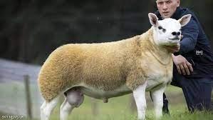 أغلى خروف في العالم تم بيعه حتى الآن… بمبلغ من 6 أرقام! – اسوار نت
