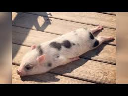 Did you know that PIGS CAN BE SO FUNNY? - <b>FUNNY PIG</b> VIDEOS ...