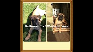 Bullmastiff Growth Chart Bullmastiffs 8 Week 1 Year Picture Video