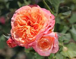 crazy love crazy love shrub rose
