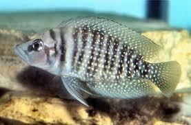 White Pearly Calvus Altolamprologus Calvus Cichlid Fish Guide