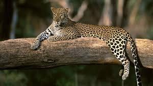 full hd animal wallpapers. Perfect Full Leopard Animal Latest HD Wallpapers With Full Hd I