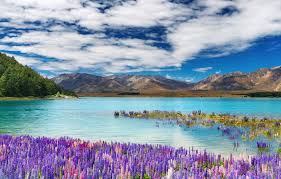 lake tekapo is the highest and most famous lake in new zealand featuring a scenic view and fringed with the southern alps the waters are a very bright