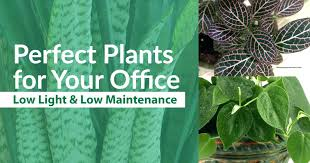 office plants no light. Office Plants No Windows Low Best Indoor For With Light