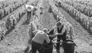 Men working at a vineyard in France  French wine is a source of national pride