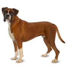 Dog insurance plan from healthy paws. Boxer Temperament Lifespan Grooming Training Petplan