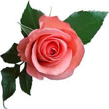 Rsultat de recherche dimages pour roses