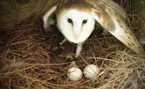 how to build a barn owl nest