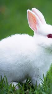 cute white baby rabbit wallpaper